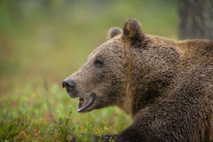 Wilder brauner Bär Lizenzfreies Stockbild