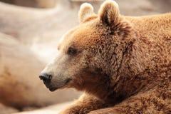 Wilder brauner Bär Stockfoto