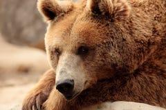 Wilder brauner Bär Stockfotografie