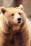 Wilder brauner Bär Stockfotos