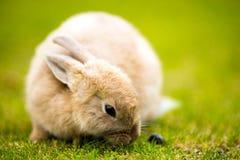 Wilder Bunny Feeds auf Einheimischem bedeckt nettes Kaninchen mit Gras Stockfotografie