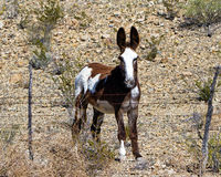 Wilder Burro Stockbild