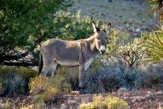 Wilder Burro in der Wüste Stockfotografie