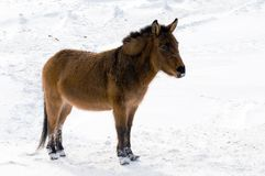 Wilder Burro im Winter Stockfoto