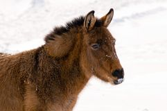 Wilder Burro im Winter Stockbilder