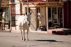 Wilder Burro in Oatman, Arizona Lizenzfreies Stockbild