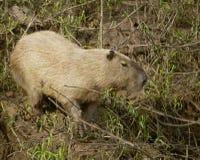 Wilder Capybara Stockfotos