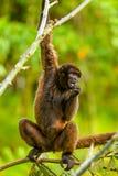 Wilder Chorongo-Affe in Ecuador Stockbild