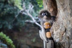 Wilder düsterer Blattaffe, der sein Baby hält Stockbild