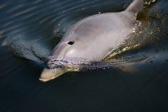 wilder delfinów Obrazy Royalty Free