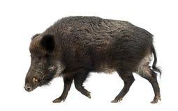 Wilder Eber, auch wildes Schwein, Sus scrofa Lizenzfreies Stockfoto