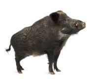 Wilder Eber, auch wildes Schwein, Sus scrofa Stockfotos