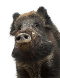 Wilder Eber, auch wildes Schwein, Sus scrofa Lizenzfreie Stockfotografie