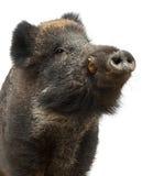 Wilder Eber, auch wildes Schwein, Sus scrofa Stockfotografie