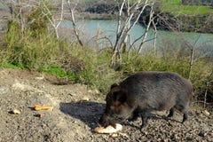 Wilder Eber, der an den Rändern des Tevere-Flusses isst Stockfotos