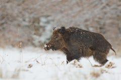 Wilder Eber im Schnee Stockfotos