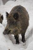 Wilder Eber im Winter Stockfoto