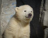 Wilder Eisb?r im Moskau-Zoo stockbild