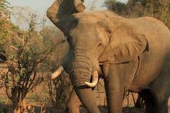 Wilder Elefant Lizenzfreies Stockfoto