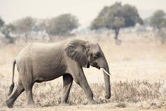 Wilder Elefant Lizenzfreie Stockbilder