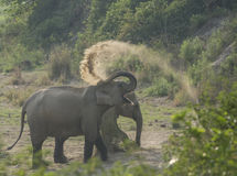 Wilder Elefant Lizenzfreie Stockfotos