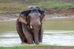Wilder Elefant, der Wasser spielt Stockbild