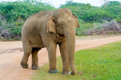 Wilder Elefant in Nationalpark Yala in Sri Lanka lizenzfreies stockbild