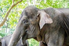 Wilder Elefant in Thailand Stockfotos