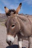 Wilder Esel nahe Oatman, Arizona lizenzfreie stockfotografie
