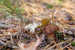 Wilder essbarer Maronenröhrling bekannt als imleria badia oder Boletus badius stockbild