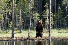 Wilder europäischer brauner Bär, Finnland Lizenzfreies Stockfoto