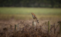 Wilder Falke in der Natur Stockbild