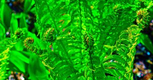 Wilder Fern Fronds Lizenzfreie Stockfotos