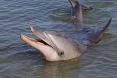 Wilder Flasche-gerochener Delphin, Fallhammer Mia, Haifisch-Schacht lizenzfreies stockbild