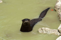 Wilder Fluss-Otter Stockfotos