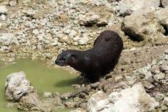 Wilder Fluss-Otter Lizenzfreies Stockfoto