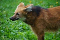 Wilder Fox - Profil Lizenzfreie Stockfotografie