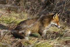 Wilder Fuchs Stockfoto