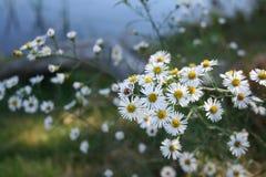 Wilder Gänseblümchen-Zweig Stockbilder