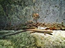 Wilder Gecko lizenzfreies stockbild