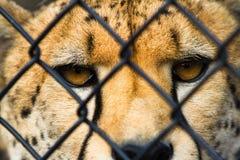 Wilder Gepard hinter einem Draht Stockfotografie