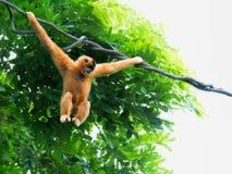 Wilder Gibbon-Affe Stockfotos