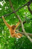 Wilder Gibbon-Affe stockbilder