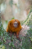 Wilder goldener Lion Tamarin in einem Baum Lizenzfreie Stockfotos