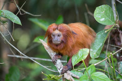 Wilder goldener Lion Tamarin in einem Baum Lizenzfreie Stockbilder