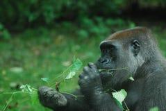 Wilder Gorilla Eating Green Leaves Lizenzfreies Stockfoto