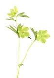 Wilder grüner Hellebore - Weihnachten alias Lenten Rose, über Weiß lizenzfreie stockbilder