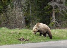 Wilder Graubär-Bär Stockfoto