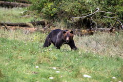 Wilder Graubär Bear2 Lizenzfreies Stockbild