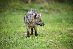 Wilder grauer Fuchs auf dem Gras Lizenzfreie Stockfotografie
